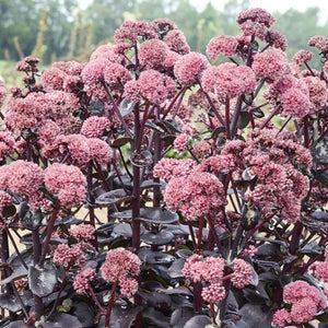 Sedum Night Embers