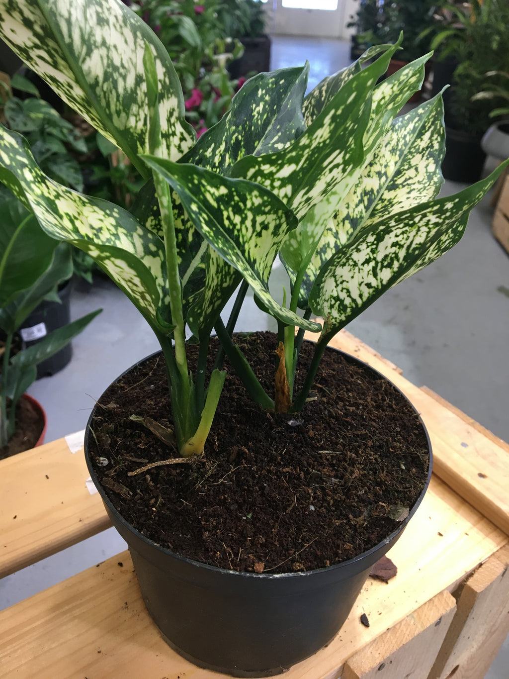 Aglaonema 'White Dalmotian' - Variegated Chinese Evergreen