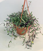 Senecio her. 'Purple Flush' - String of Banana