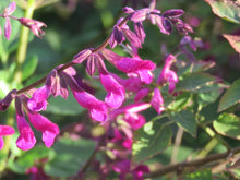 Load image into Gallery viewer, salvia magenta magic parkers perennials sale magenta magic for sale parkers perennials online nursery google