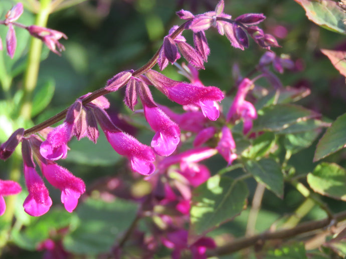salvia magenta magic parkers perennials sale magenta magic for sale parkers perennials online nursery google