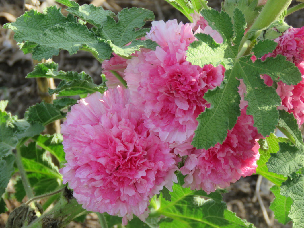 Hollyhock 'Charters Double Apple blossom'