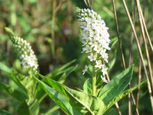 Load image into Gallery viewer, Lysimachia clethroides.