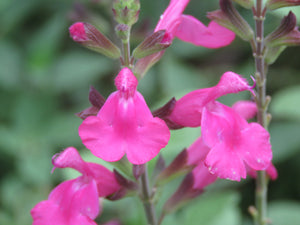 Salvias 'Penny's smile'