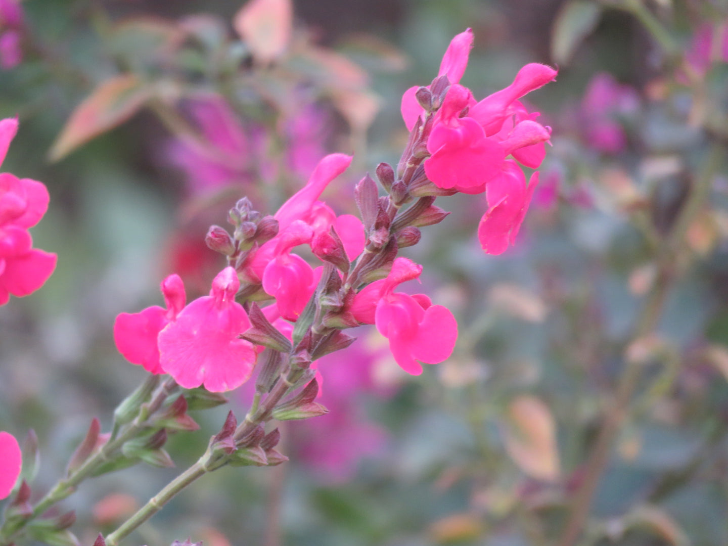 Salvia 'Penny's Smile'