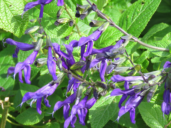 Salvia Purple Majesty