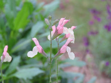 Load image into Gallery viewer, Salvia microphylla 'candleglow '