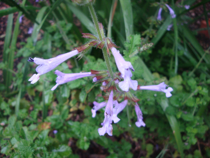 Pale lilac flowers for a long time, small crinkly scented foliage.  Very hardy Shrub to around 1mPale lilac flowers long time, small crinkly scented foliage. hardy Shrub a 1m. online, sale, nursery, parkers perennials, purchase