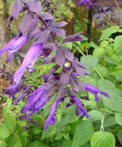 salvia black knight for sale online nursery parkers perennials plants garden perennials