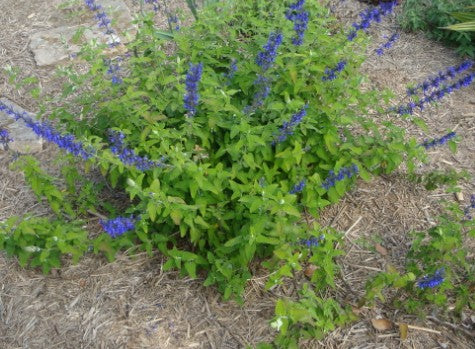 salvia harmony, online, plants, parkers perennials, salessalvia harmony, for sale,online,parkersperennials,australia, perennials, for sale nursery, bargain, you must have, wanted, neededsalvia harmony. parkersperennials. online. perennials. nursery. glenorie. plants. blue flowers