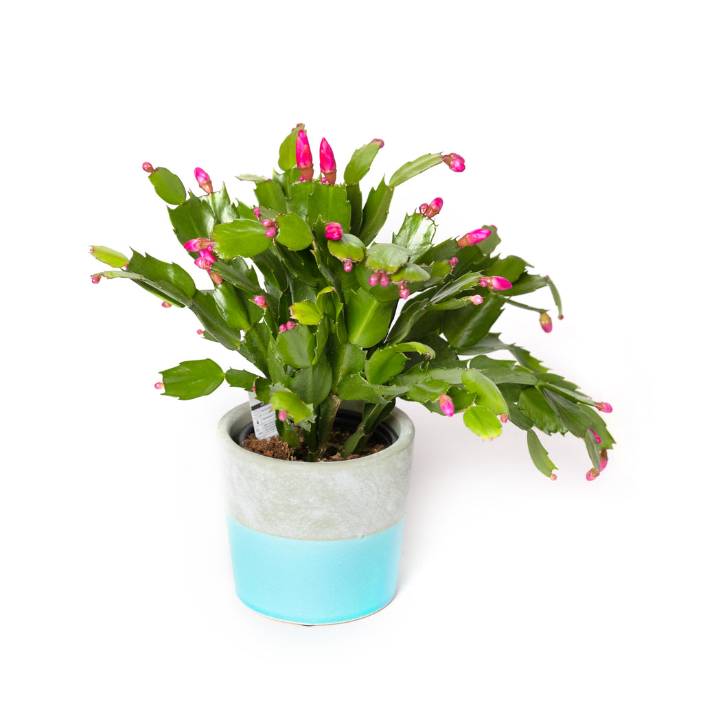 "4"" potted Christmas Cactus"