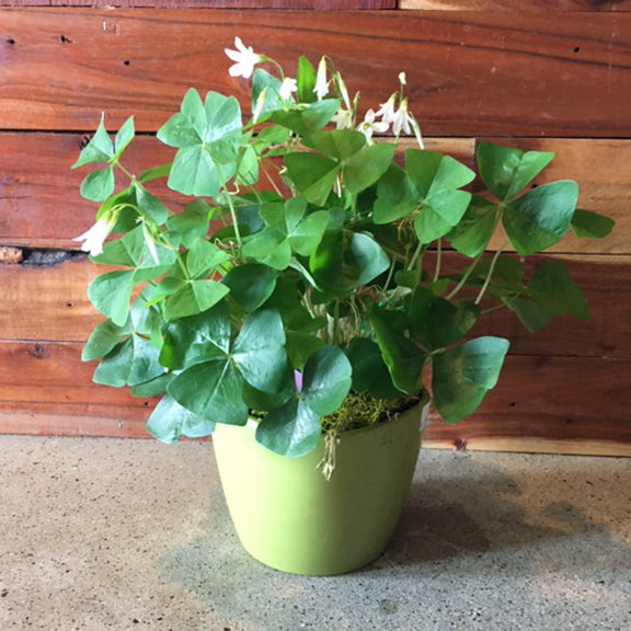 Lucky Clover Plant (Potted Oxalis)