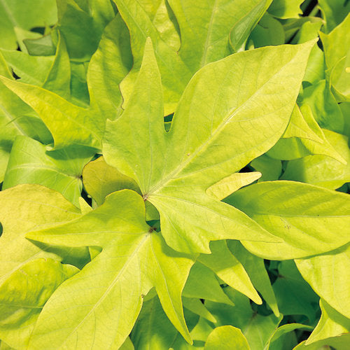 Ipomoea (Sweet Potato Vine)