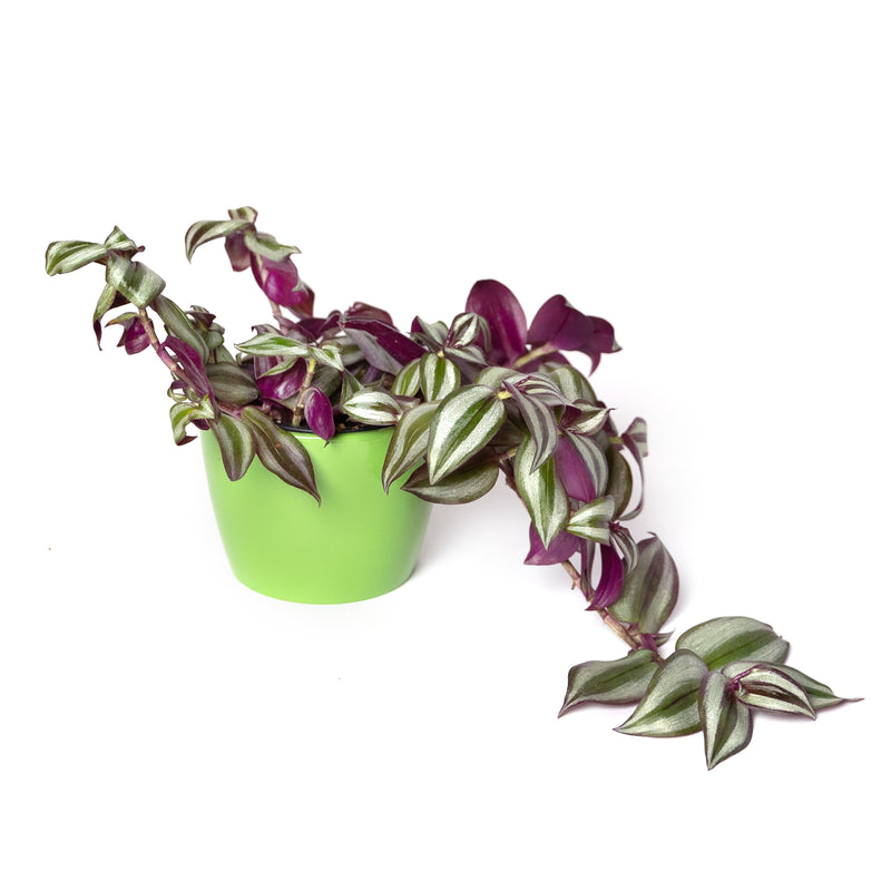 "4"" potted Wandering Jew"