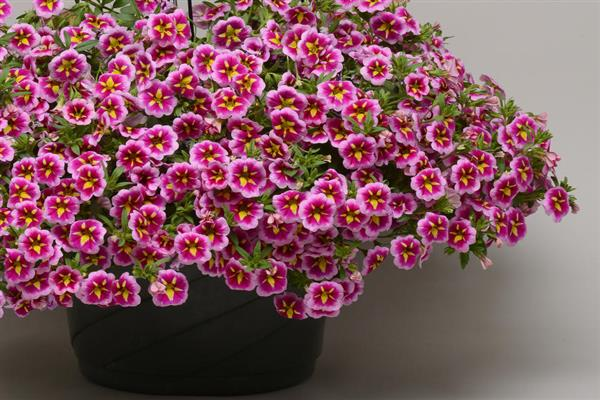 Calibrachoa (Million Bells)