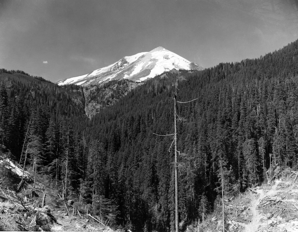 View of Mount St. Helens from the forest, 1958. -- Longview Public Library