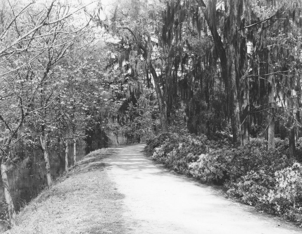 Edisto Memorial Gardens, circa 1950. Also known as Shug Lane and Lovers' Lane, this beautiful pathway along the levee showcases the garden's azaleas and the Edisto River's tranquil waters. -- Chamber of Commerce