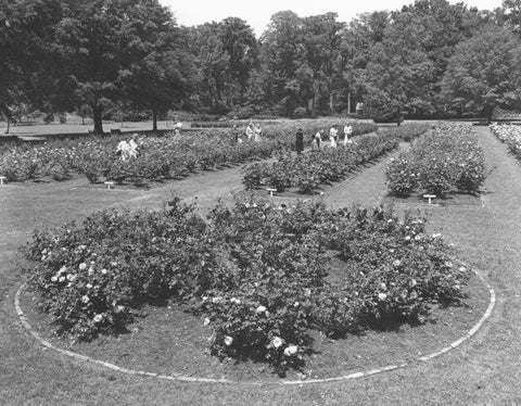 Roses at the Edisto Memorial Gardens, circa 1953. The fragrant and award-winning flowers attract visitors from all over. -- Chamber of Commerce