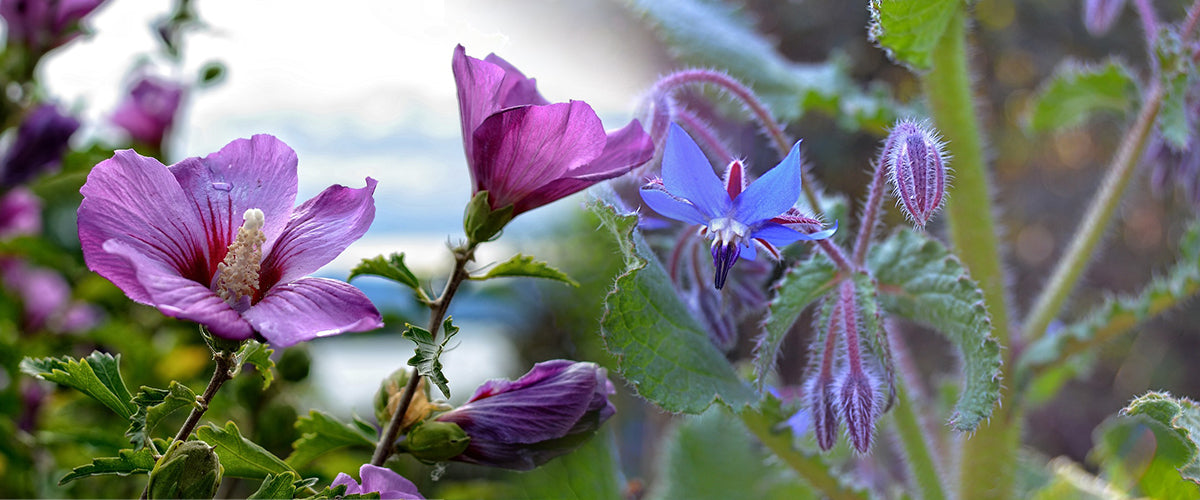 Borage & Marshmallow
