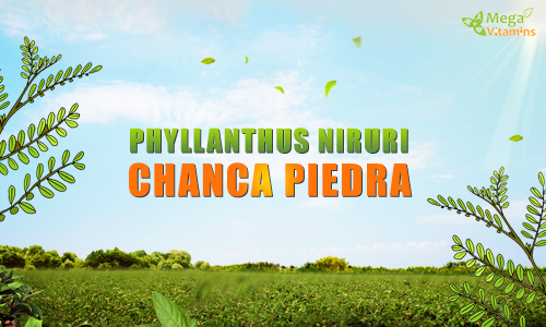 The Benefits of Chanca Piedra