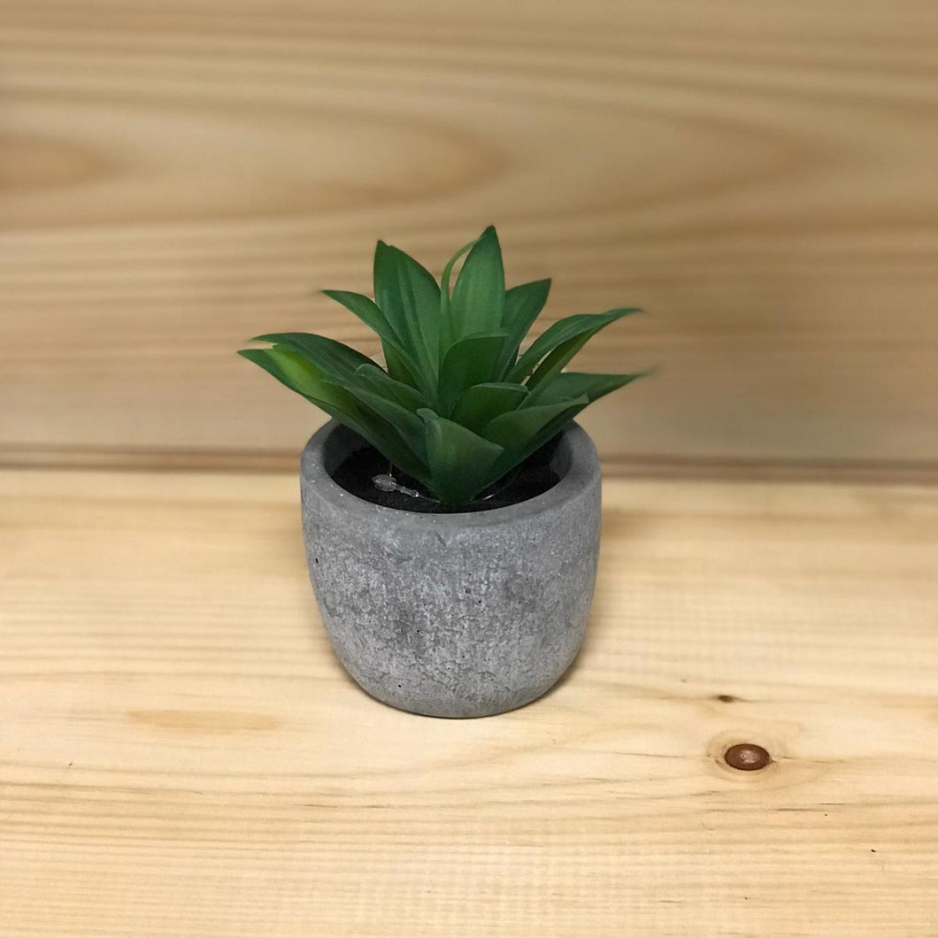 Small Succulents in Cement Pot