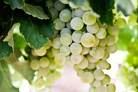 A close-up of green grapes on the vine.