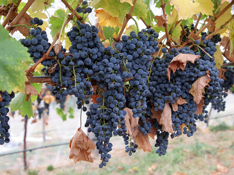 The fruit, vine, and leaves of the common grape vine, vitis vinifera.
