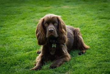 Breed of the month  - Spaniels