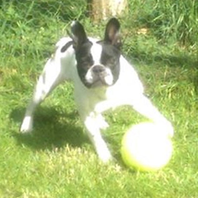"""MY FRENCH BULLDOG PIERRE IS 3 YEARS OLD. WE HAVE HAD PIERRE FROM A PUPPY AND HE HAS ALWAYS HAD AN ISSUE WITH BRINGING UP HIS FOOD AFTER EATING IT"""