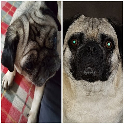 I HAVE RAW FED MY 2 PUGS ALL THEIR LIFE …