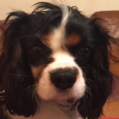 """I HAVE AN 18 MONTH OLD CAVALIER KING CHARLES WHO HAS SERIOUS FOOD/EATING ISSUES"""