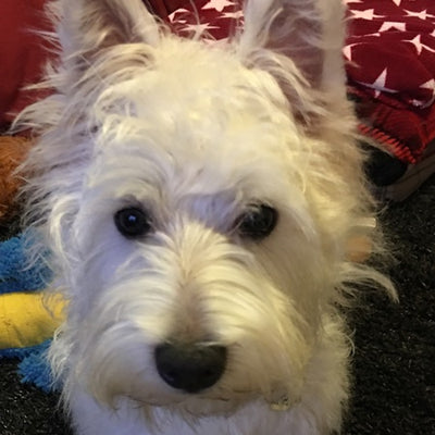 MY VERY FUSSY WEST HIGHLAND TERRIER BOUNCES AROUND EVERY MEALTIME UNTIL I SET HIS BOWL DOWN