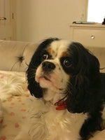 We have suffered along with our Frankie boy (Cavalier King Charles) for 18 months now