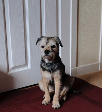 My 15 year old Border Terrier was slowly starving himself, he wouldn't eat anything