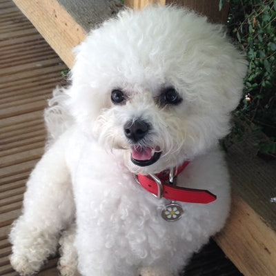 MY BICHON HAS PANCREATITIS AND WAS ON CHICKEN BREAST AND PASTA DIET