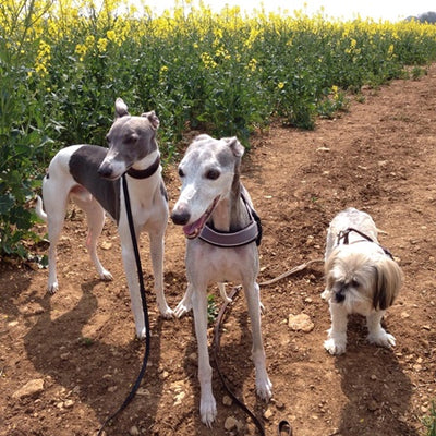 MY 3 DOGS (16 YEAR OLD WHIPPET, 11 YEAR OLD LHASA APSO AND 6 YEAR OLD WHIPPET) LOVE THE FOOD