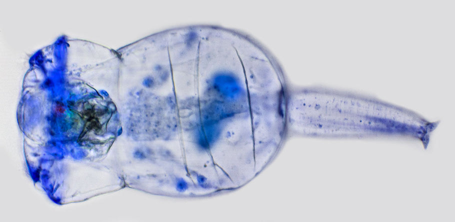 Rotifer Tips and Tricks... The secrets to a successful rotifer culture