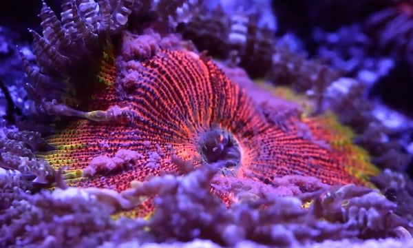 How to Properly Feed Corals in a Saltwater Aquarium