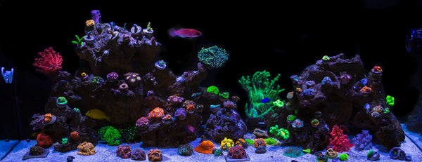 Is Your Saltwater Tank Ready For Coral?
