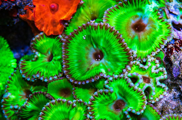 Zoanthid & Palythoa Handling: A Guide for Your Home Aquarium