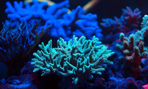 What Influences Coral Coloration