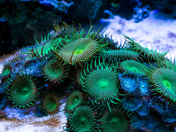 palytoxin poison coral