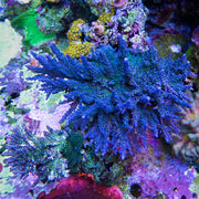 WWC Madman Austera Acropora - Mother Colony