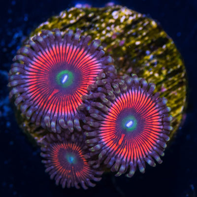WWC White Mouth Gobstopper Zoanthids