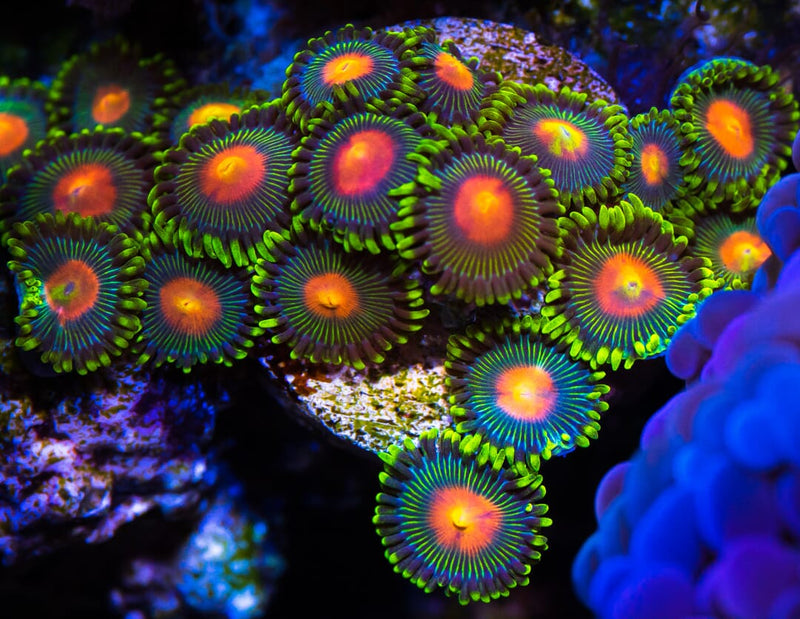 Green Bay Packer Zoanthids - Mother Colony