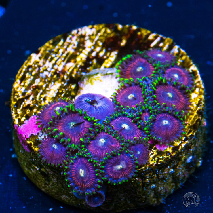 WWC Space Queens Zoanthids