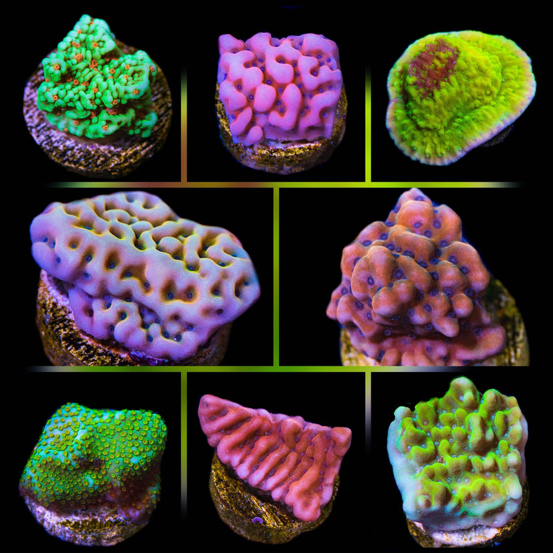 WYSIWYG Montipora Collector pack