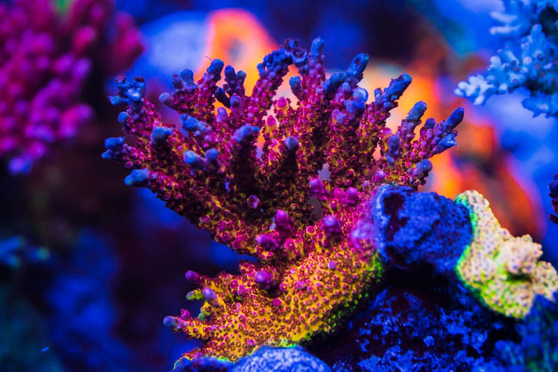 PC Rainbow Acropora - Mother Colony