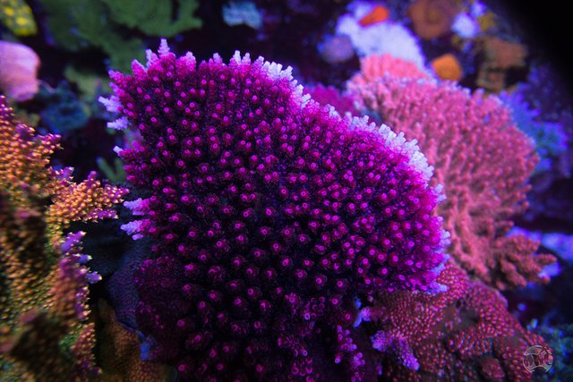 WWC WOW Acropora - Mother Colony
