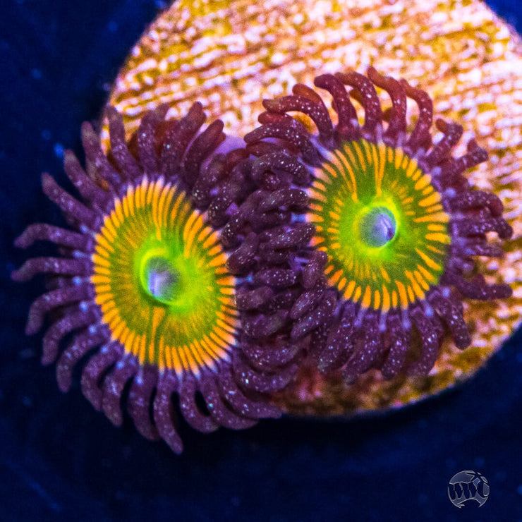 Sunny D's Zoanthids